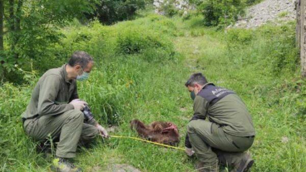 oso localizados en Somiedo