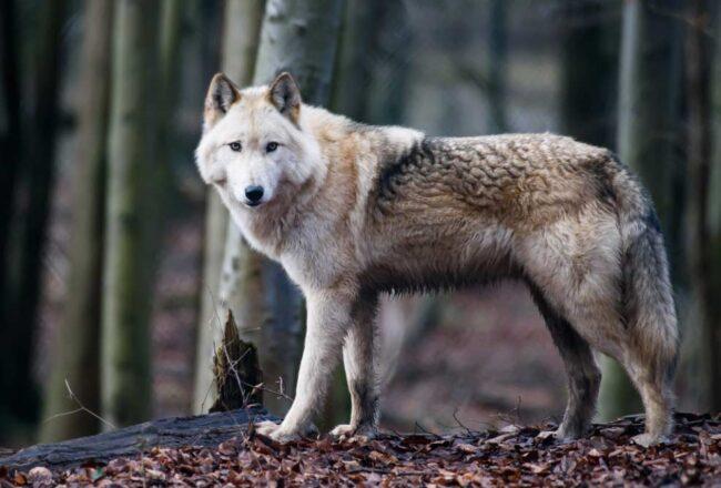 perros lobo